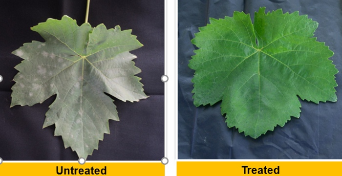 Results in Powdery Mildew