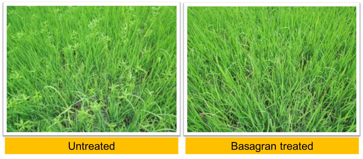 Results of Basagran in Sedges & Broad Lead Weed control
